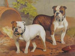"Bulldogs, ""Doon Brae"" The Property Of Capt. G.H. Holdsworth. ""Smasher"" The Property Of Mr. Alfred .."