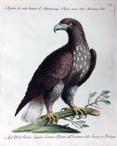 Eagle, from Natural History of Birds Treated Systematically and Adornded with Copperplate Engraving Illustrations, in Miniature and Life-Size