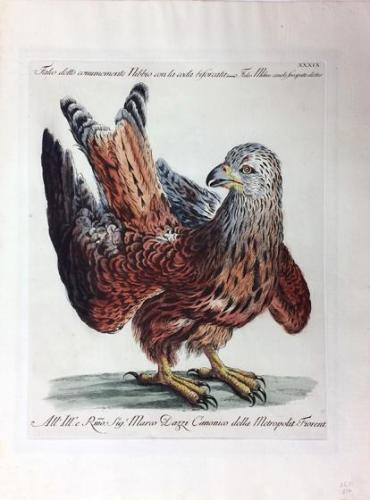 Hawk, from Natural History of Birds Treated Systematically and Adornded with Copperplate Engraving Illustrations, in Miniature and Life-Size