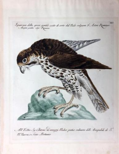 Sparrowhawk, from Natural History of Birds Treated Systematically and Adornded with Copperplate Engraving Illustrations, in Miniature and Life-Size